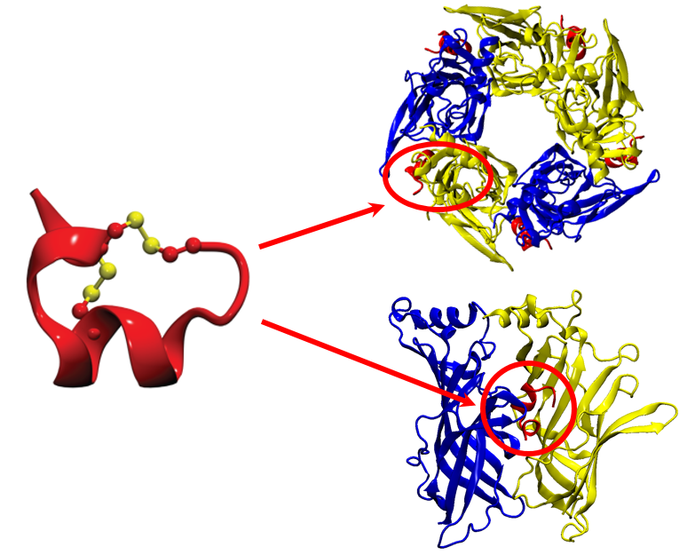 Conotoxins (red ribbon) bind to specific sites on their target neuronal protein receptors (blue & yellow ribbons), inhibiting their function as signal transmitters in the nervous system. Image courtesty, Dr Andrew Hung, RMIT University