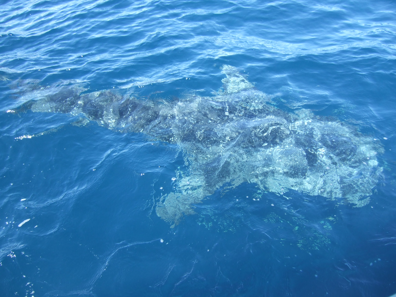A whale shark approaching the research vessel. Image courtesy Ana Sequeira UWA